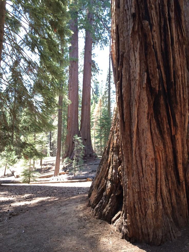 Kalifornien Sequoia