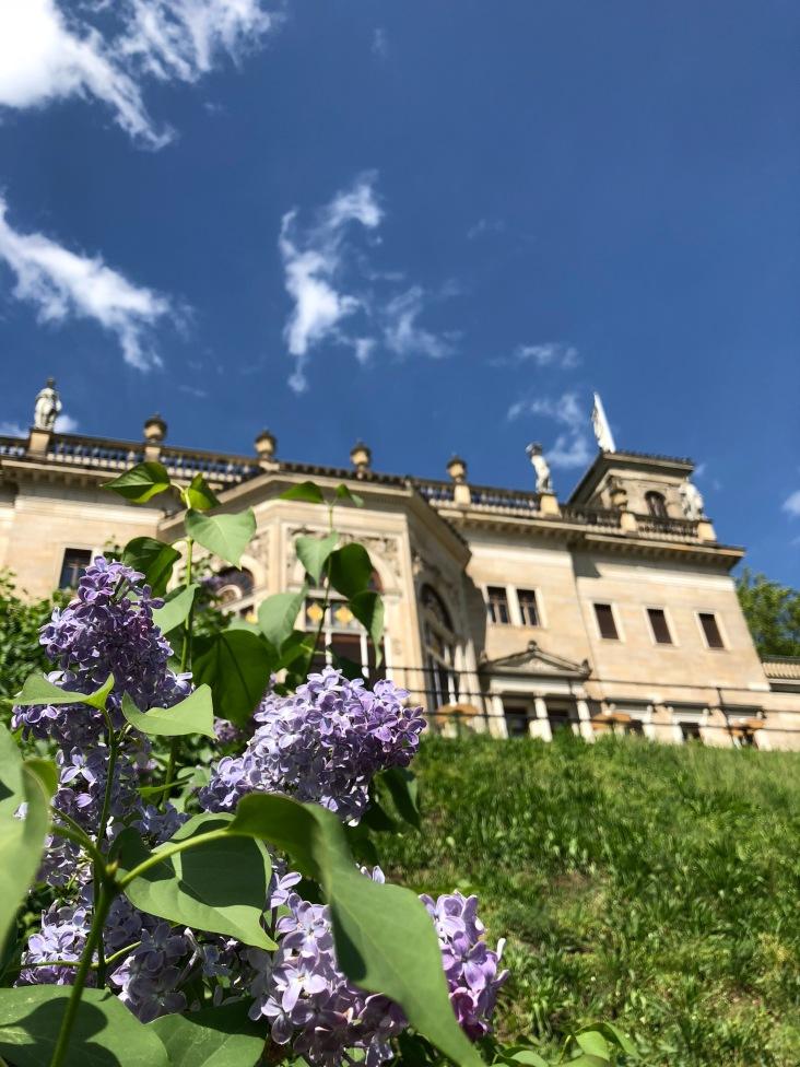 Flieder am Hang hinter dem Schloss Albrechtsberg